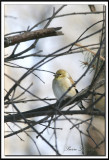 a_MG_2098.jpg    CHARDONNERET JAUNE / AMERICAN GOLDFINCH   hiver/winter