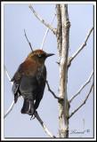 QUISCALE ROUILLEUX -  RUSTY BLACKBIRD    IMG_4939    -  Marais Provencher