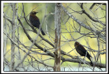 QUISCALE ROUILLEUX -  RUSTY BLACKBIRD    IMG_4899    -  Marais Provencher