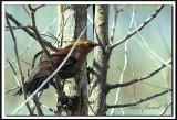 QUISCALE ROUILLEUX -  RUSTY BLACKBIRD    IMG_4971    -  Marais Provencher