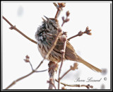_MG_6469.jpg  -  BRUANT CHANTEUR / SONG SPARROW