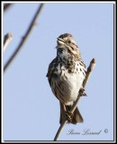 _MG_6461.jpg  -  BRUANT CHANTEUR / SONG SPARROW