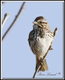 _MG_6462   -  BRUANT CHANTEUR / SONG SPARROW