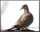 TOURTERELLE TRISTE - MOURNING DOVE      _MG_6872 .jpg