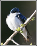 HIRONDELLE BICOLORE - TREE SWALLOW TAIL     _MG_8299a .jpg