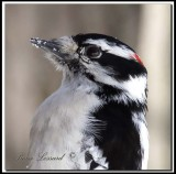 Pic mineur  -  Downy woodpecker     _MG_1923
