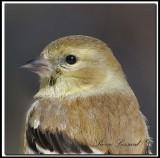 Chardonneret jaune hivernal  -  American goldfinch in winter    _MG_1996