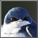 Hirondelle bicolore  -  Tree swallow     _MG_8302a