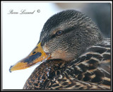 CANARD COLVERT  femelle/ MALLARD female  -  _MG_2505a