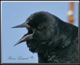 Carouge à épaulettes  -  Red-winged blackbird     _MG_5846