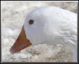 Oie blanche domestique  -  Domestic white goose     foretperdue 038