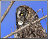 Chouette Lapone   -   Great gray owl   foret perdue 109