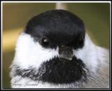 Mésange à tête noire   -   Black-capped chickadee      IMG_7194