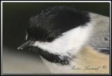 Mésange à tête noire   -   Black-capped chickadee     IMG_8165