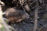Muskusrat - Muskrat - Rat Musqué