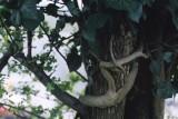 snake-woman around tree