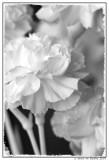Carnations (B&W)