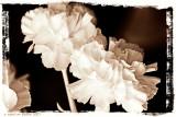 A Few More Carnations