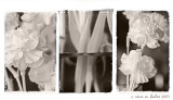 Carnation Montage #2