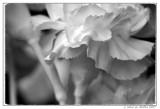 Single Carnation