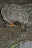 Turtle on the Towpath