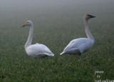 Whooper Swan(with Trumpeter Swan)
