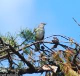 northern_mockingbird_photos