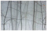 Fog in the woods 2