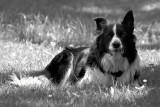 Caesar - The Herding Dog
