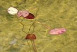 Loner Lilypads