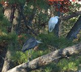 heron and egret 0191 11-24-06.jpg