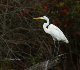 Great Egret 11-28-06 0045.jpg