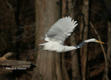 egret taking off 0359 12-30-06.jpg