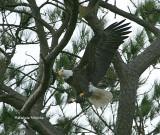 eagle 0392 1-15-07.jpg