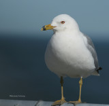 ring billed gull 0069 3-2-07.jpg