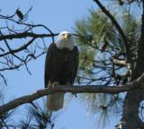 eagle female I think 0420 3-18-07.jpg