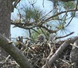 baby eagle 0148 3-31-07.jpg