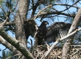 baby eagle 0321 5-25-07.jpg