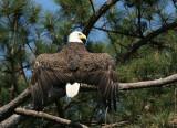 eagle male 0308 5-28-07.jpg