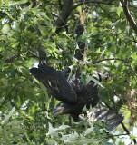 eagle juvie upside down 0256 6-2-07.jpg