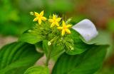 9849 Rubiaceae