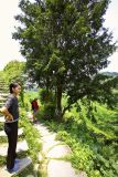 3510 Ancient sacred yew tree. Taxus wellichiana