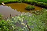 1048 Fish pond with grass cutting on the right and corn leaves and husks on the left.