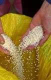 2647 Rice after being hulled. ***Explanation***
