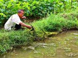 3137 Feeding fish in pond using stream vegitation.