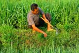 3056 Little goes to waste. Cutting grass between rice fields to be fed to fish.