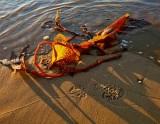 Kelp on beach.
