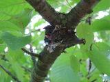 Red admirals sleeping on cherry tree branch