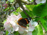 Red admiral feeding on apple blossom