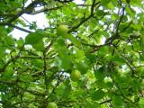 Apple Harvest 2007